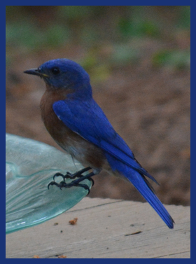 Beautiful Bluebird - Yes, he is really that blue. No touch ups.